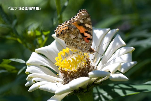 0031_1(ヒメアカタテハ?).jpg