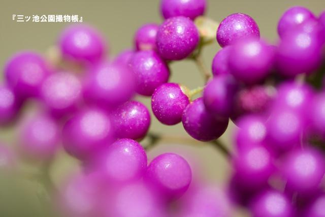 0062-1(コムラサキ).jpg