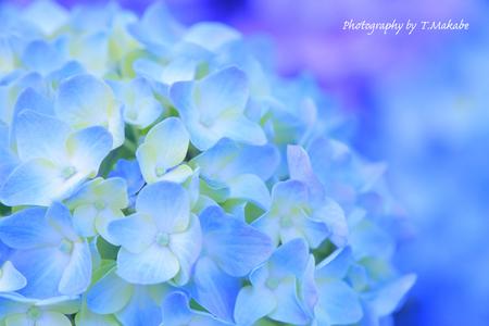 02-1★三ッ池公園の紫陽花.JPG
