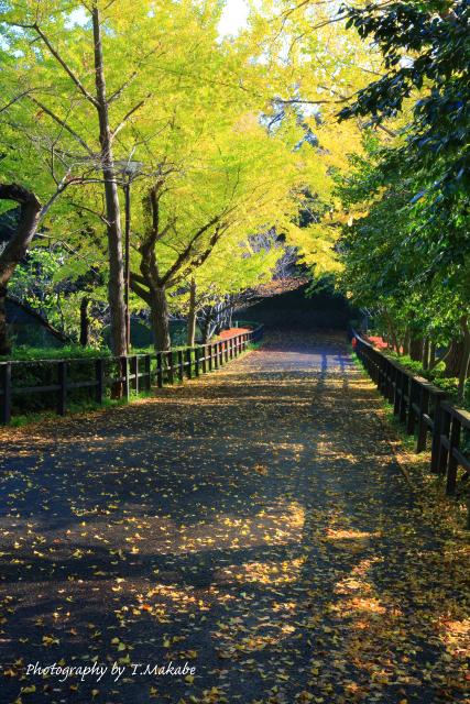 02-1★三ッ池公園のイチョウの黄葉.JPG