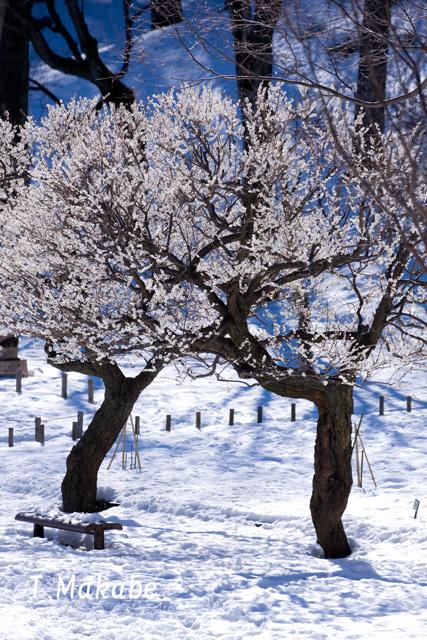 三ッ池公園の白梅・積雪