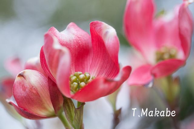 三ッ池公園の花水木.jpg