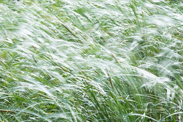 三ッ池公園の蒲の原.jpg