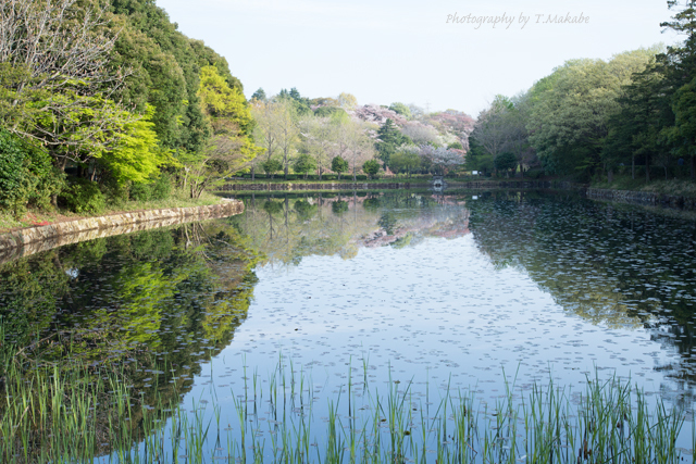三ッ池公園・上の池の水面・新緑.jpg
