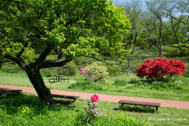 三ッ池公園の牡丹.jpg