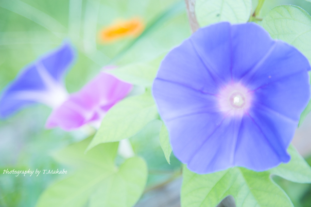 三ッ池公園のアサガオ.jpg