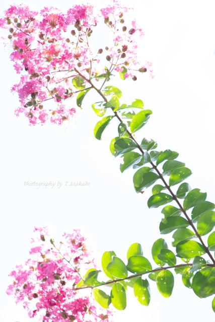 三ッ池公園のサルスベリ.jpg