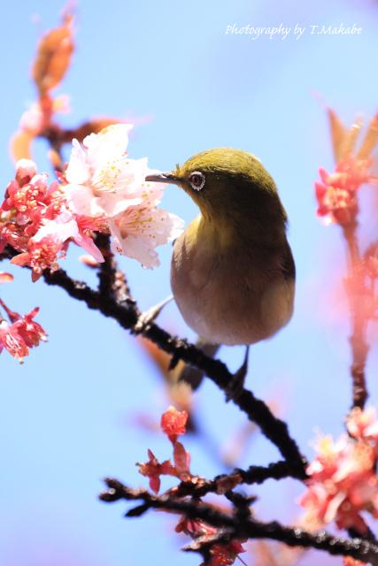 三ッ池公園「寒桜にメジロ」.JPG