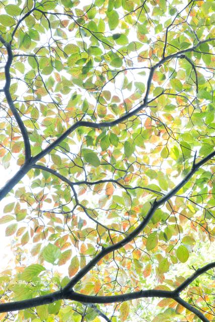 三ッ池公園の秋のハナミズキ.jpg