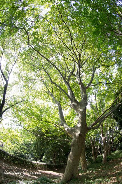 三ッ池公園のプラタナスの黄葉.jpg