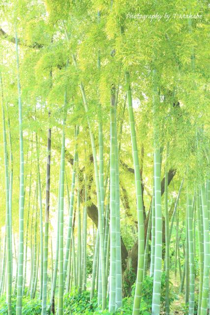 三ッ池公園の竹林.JPG