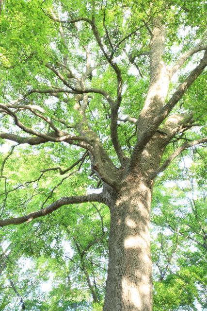 三ツ池公園の樹木新緑.JPG