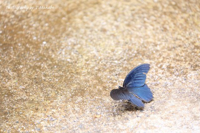 1462-2★三ッ池公園のナガサキアゲハ.JPG