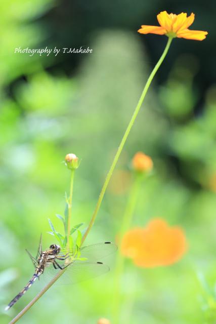 1569-1★三ッ池公園のシオカラトンボ.JPG