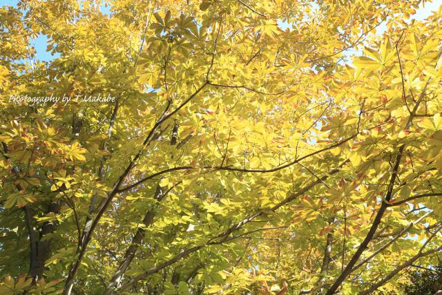 1571-1★三ッ池公園トチノキの黄葉.JPG