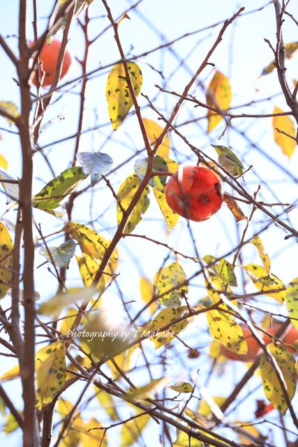 1603-★三ッ池公園柿を食べるメジロ.JPG