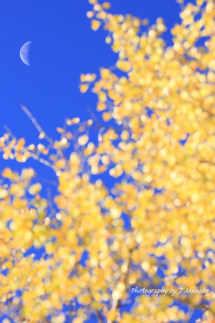1607-1★三ッ池公園の紅葉イチョウ.JPG
