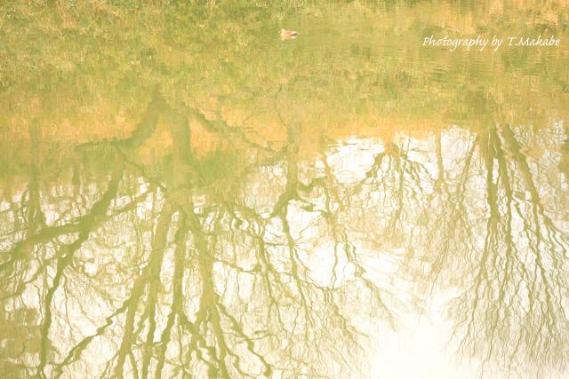1640-1★三ツ池公園の水面カルガモ.JPG