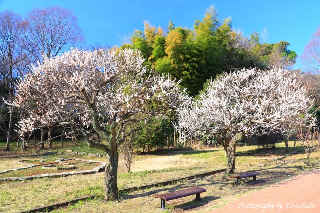 1650-1★三ツ池公園の白梅.JPG