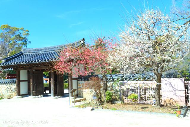 1651★三ツ池公園の紅梅白梅.JPG
