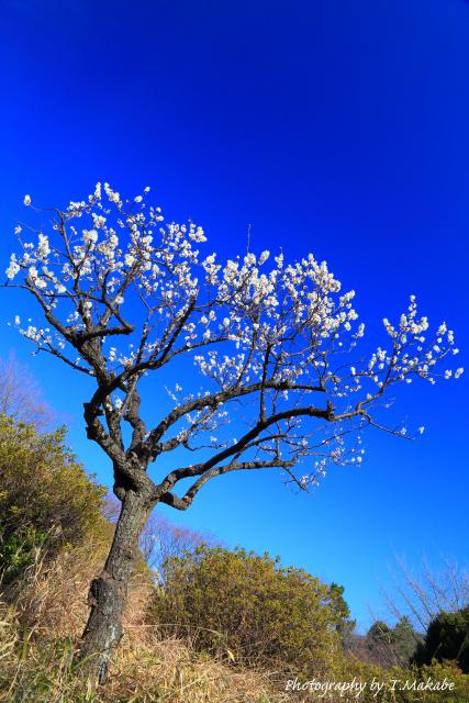 1652-1★三ッ池公園の白梅.JPG