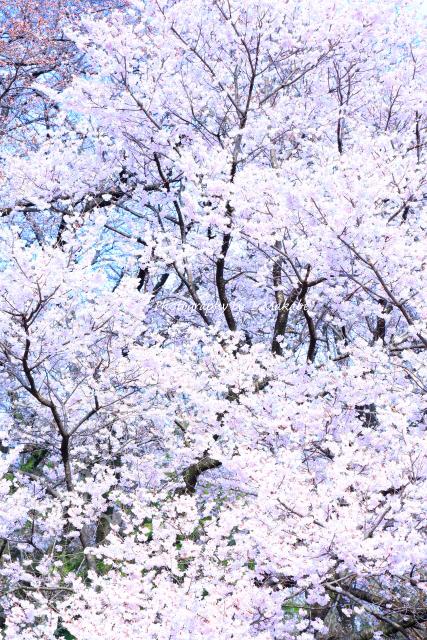 1654-1★三ッ池公園のコシノヒガンザクラ.JPG