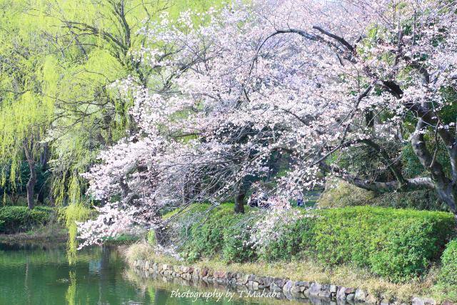 1655-1★三ッ池公園の柳と桜・江戸彼岸桜.JPG