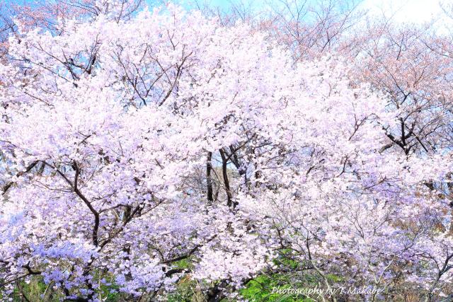 1656-1★三ッ池公園の桜・コシノヒガンザクラ.JPG