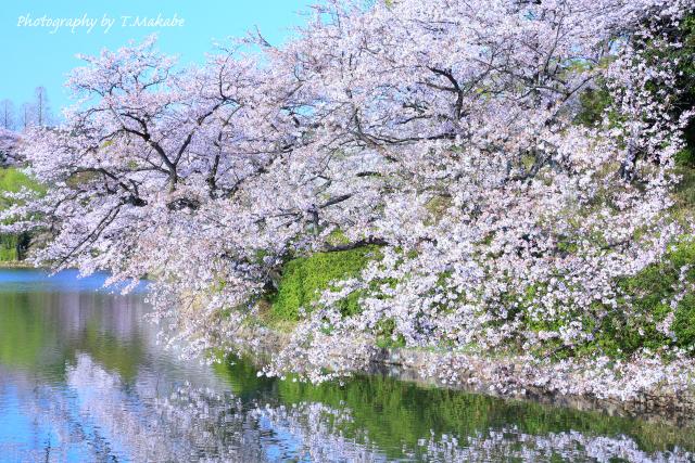 1659-1★三ッ池公園の水面にソメイヨシノ.JPG