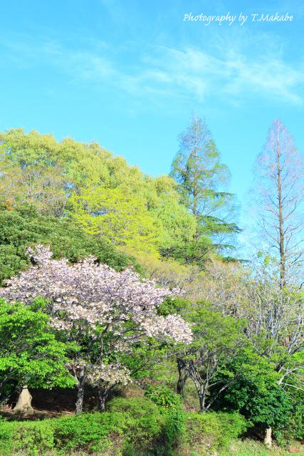 1666-1★三ッ池公園の桜フゲンゾウ.JPG