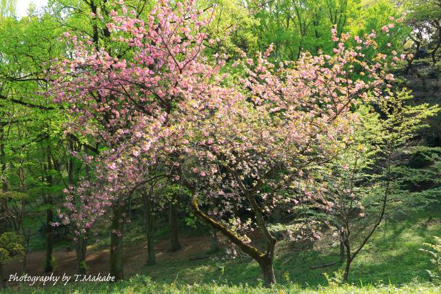 1667-1★三ッ池公園の桜カンザン.JPG