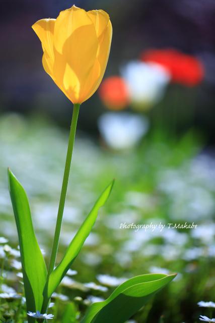 1668-1★三ッ池公園の花チューリップ.JPG