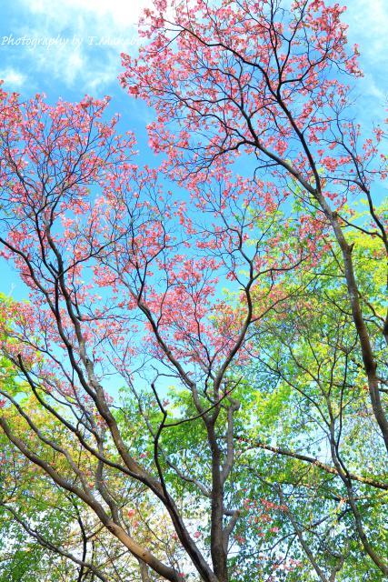 1669-1★三ッ池公園のハナミズキ.JPG
