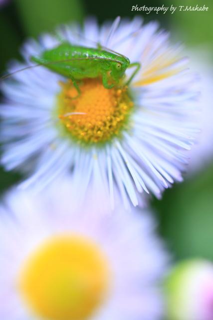 1677-1★三ッ池公園の花に乗るバッタ.JPG