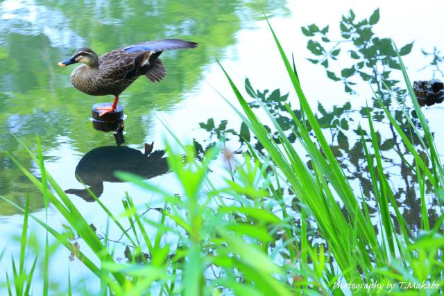 1679-1★三ッ池公園のカルガモ.JPG