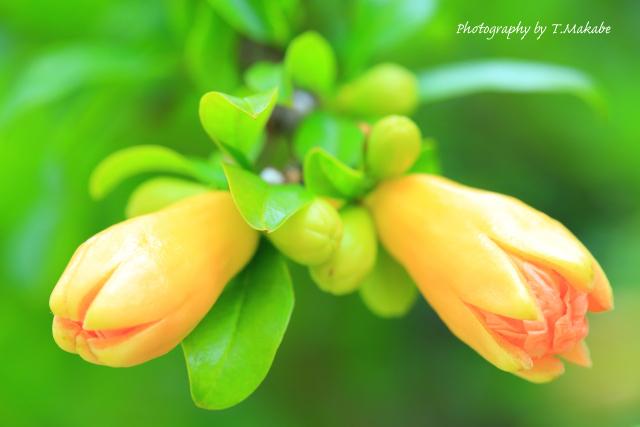 1682-1★三ッ池公園のザクロの花.JPG