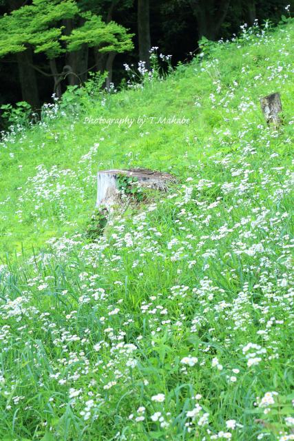 1683-1★三ッ池公園のハルジオン、ヒメジョオン.JPG