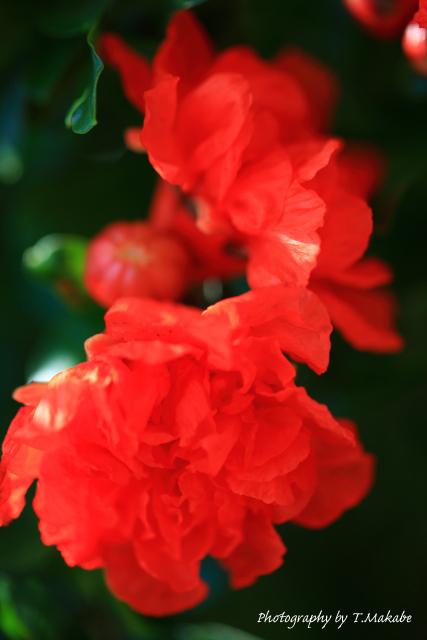 1686-1★_三ッ池公園のザクロの花.JPG