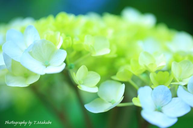 1689-1★三ッ池公園のアジサイ.JPG