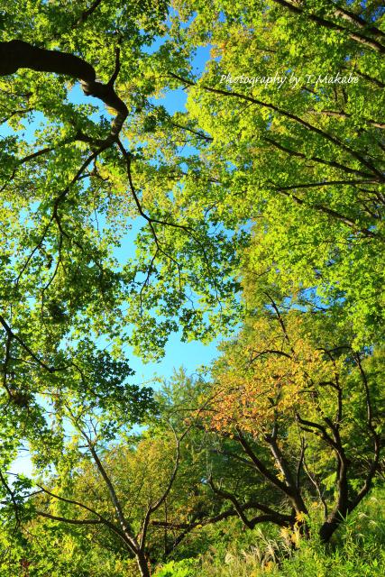 1732-1★三ッ池公園の里桜の黄葉.JPG