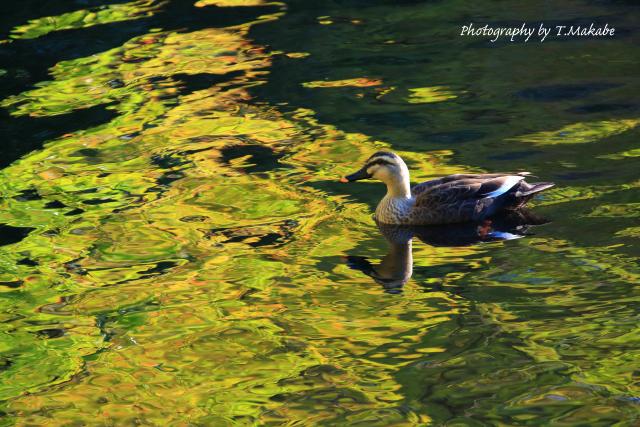 1735-1★三ッ池公園のイチョウの黄葉にカルガモ.JPG