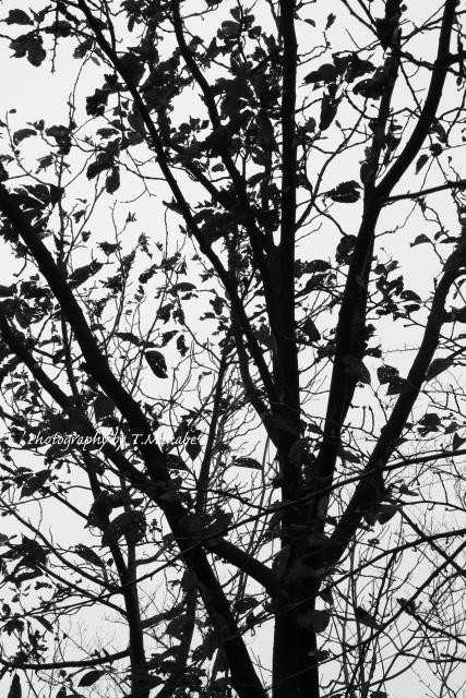 1740-1★三ッ池公園のホオノキ.JPG