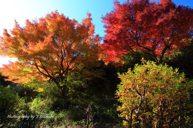 1744-1★三ッ池公園カエデの紅葉.JPG