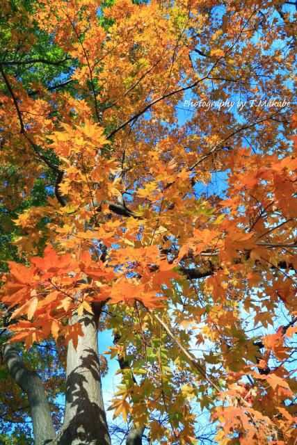 1748-1★三ッ池公園の紅葉カエデ.JPG