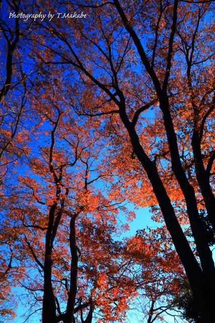 1754★三ッ池公園の紅葉コナラ.JPG