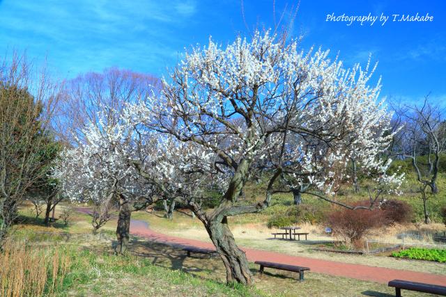 1762-1★三ッ池公園花の広場の白梅.JPG