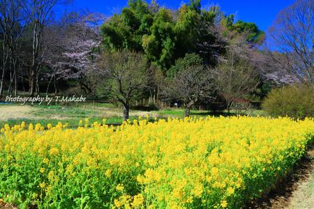 1780-1★三ッ池公園の菜の花.JPG