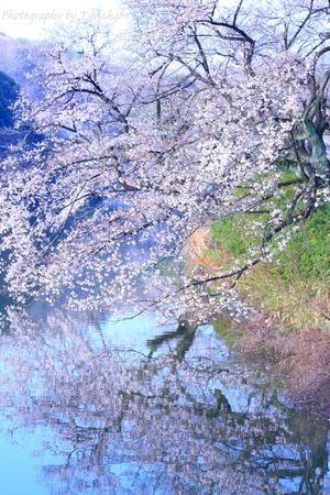 1782-1★三ッ池公園中の池のソメイヨシノ.JPG