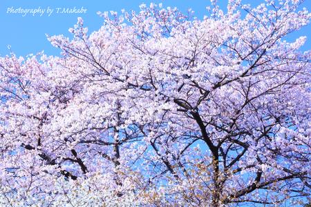 1787-1★三ッ池公園の桜.JPG