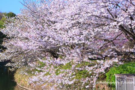 1788-1★三ッ池公園の桜ソメイヨシノ.JPG